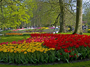Fotos Niederlande Park Tulpen Bäume Design Keukenhof Lisse Natur