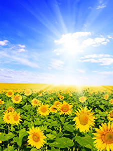 Hintergrundbilder Felder Sonnenblumen Viel Himmel Wolke Blumen