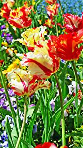 Hintergrundbilder Tulpen Großansicht Blüte