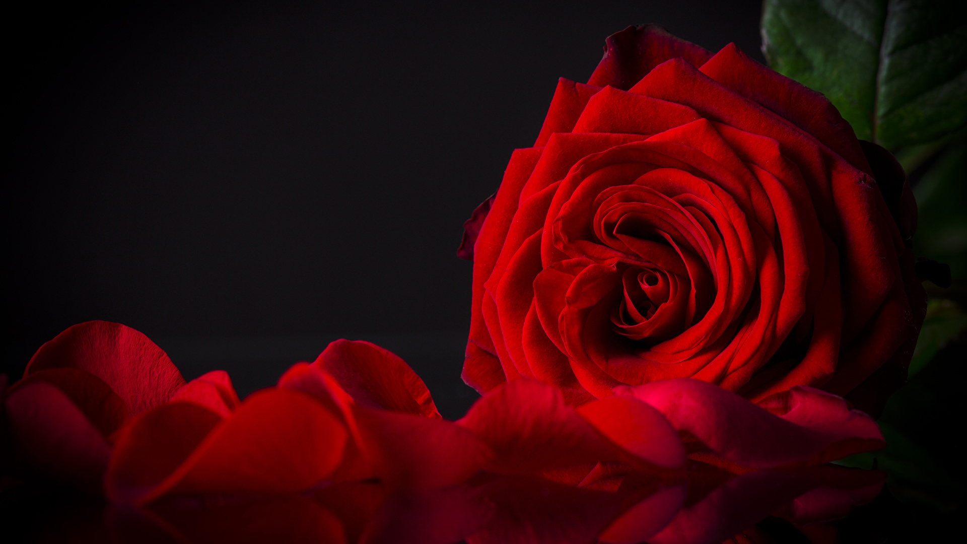 Images Red Roses Petals Flowers Closeup Black Background 1920x1080