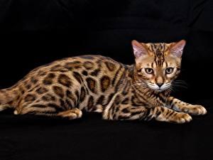 Fotos Katze Bengalkatze Schwarzer Hintergrund Tiere