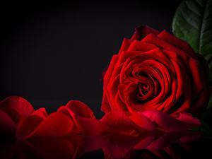 Hintergrundbilder Rosen Großansicht Schwarzer Hintergrund Rot Blütenblätter Blumen