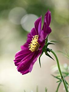 Photo Cosmos plant Closeup Blurred background flower