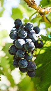 Bilder Weintraube Blatt Lebensmittel