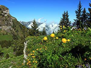 Hintergrundbilder Schweiz Gebirge Ranunkel Alpen Fichten Nidwalden Natur