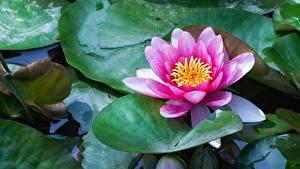 Fotos Seerosen Blattwerk Rosa Farbe Blumen