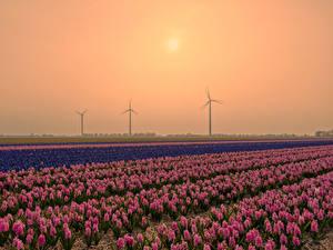 Hintergrundbilder Niederlande Sonnenaufgänge und Sonnenuntergänge Felder Hyazinthen Viel Natur Blumen