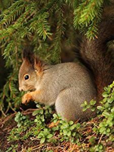 Hintergrundbilder Hörnchen Ast Tiere
