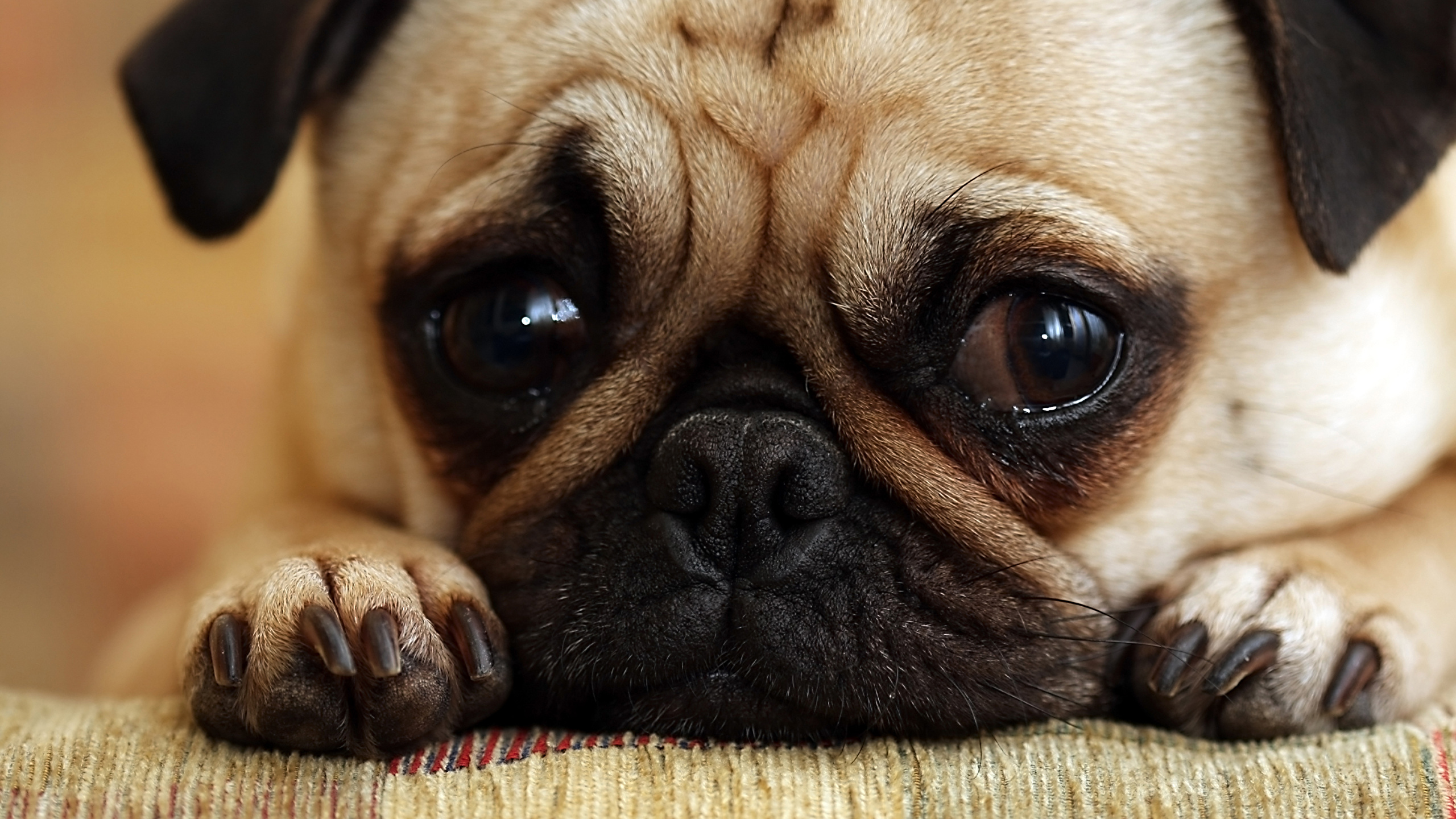 Pictures Pug Puppy Dogs Paws Snout Animal 2560x1440