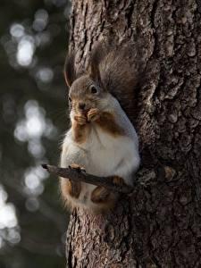 Bilder Hörnchen Bokeh Blick Ast Baumstamm ein Tier