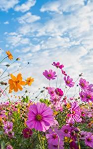 Hintergrundbilder Kosmeen Sommer Himmel Blumen