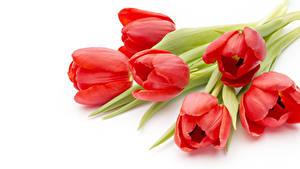 Fotos Tulpen Großansicht Weißer hintergrund Rot Blumen