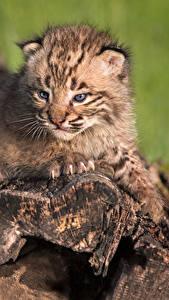 Fondos de Pantalla Lynx Cachorros Animalia