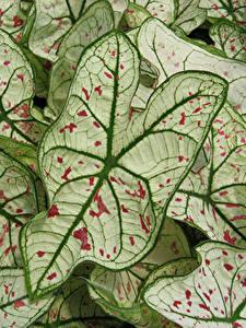 Hintergrundbilder Kaladien Großansicht Blatt Blumen