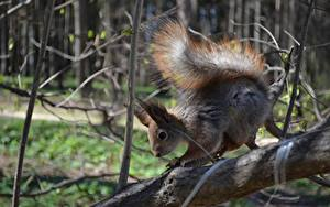 Image Closeup Squirrels Branches Tail Animals