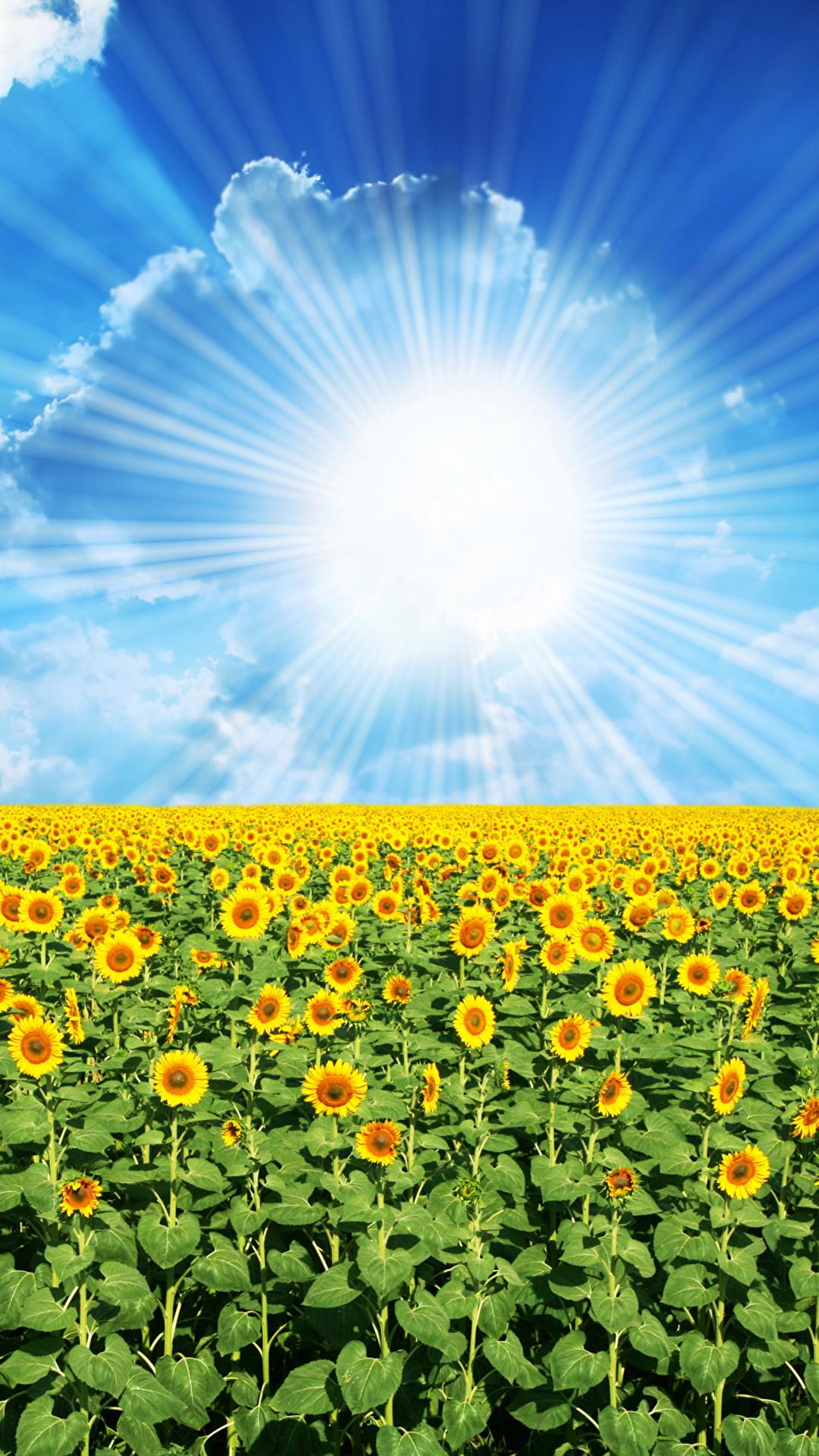 Hintergrundbilder Lichtstrahl Natur Sonne Felder Himmel Sonnenblumen Wolke 1080x1920 Acker