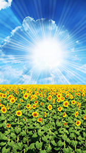 Pictures Fields Sunflowers Sky Sun Clouds Rays of light