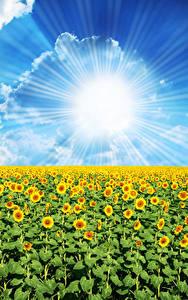 Fondos de Pantalla Campos Girasols Cielo Sol Nube Rayos de luz