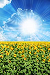 Bilder Felder Sonnenblumen Himmel Sonne Wolke Lichtstrahl