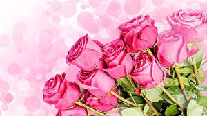 Bilder Rosen Großansicht Weißer hintergrund Rosa Farbe