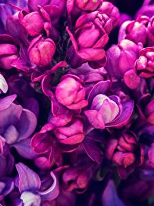 Bilder Makro Großansicht Flieder Violett Blumen