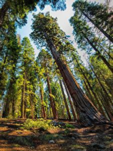 Bilder USA Park Bäume Baumstamm Untersicht Ansicht von unten Sequoia and Kings National Park Natur