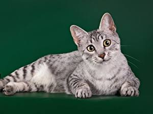 Pictures Cats Staring Colored background Egyptian Mau Animals