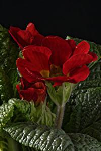 Hintergrundbilder Primeln Großansicht Rot Blatt Blumen
