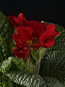 Hintergrundbilder Schlüsselblumen Großansicht Rot Blatt Blumen