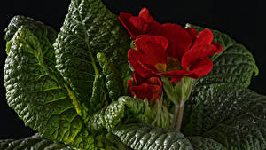 Hintergrundbilder Primeln Hautnah Rot Blatt Blumen
