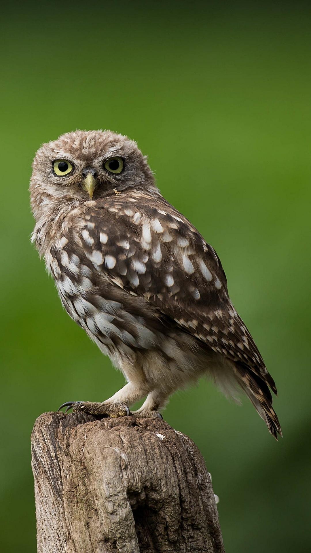 Papeis de parede 1080x1920 Aves Corujas little owl Bokeh Animalia baixar  imagens