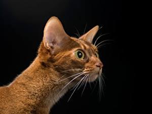 Hintergrundbilder Katze Blick Kopf Schwarzer Hintergrund Schnurrhaare Vibrisse Tiere