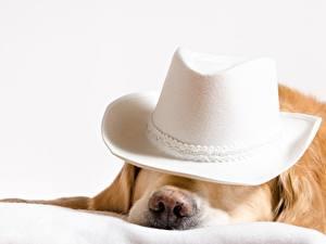 Fotos Hunde Golden Retriever Der Hut