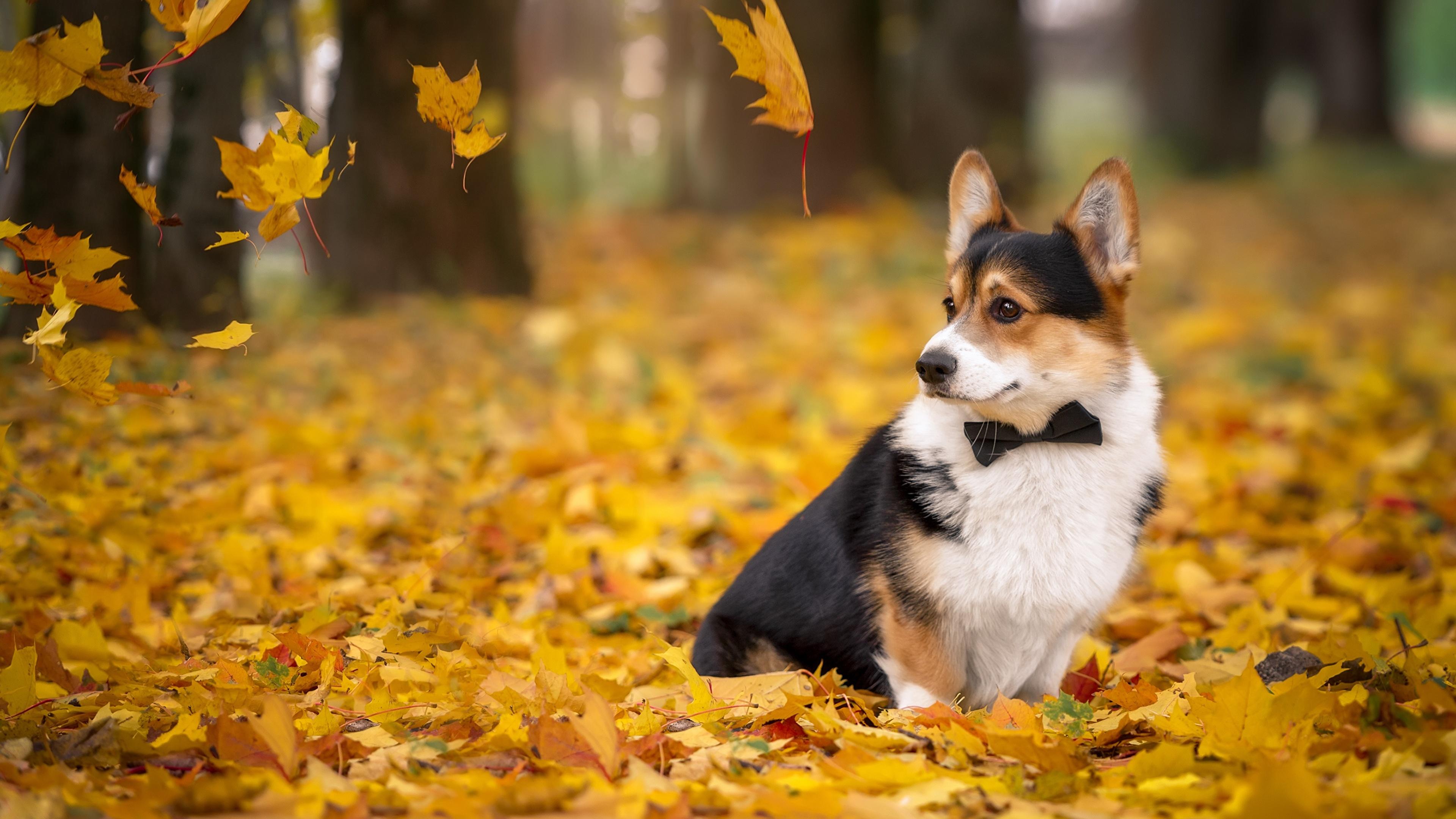壁紙 3840x2160 イヌ 秋 ウェルシュ コーギー 木の葉 動物 ダウンロード 写真