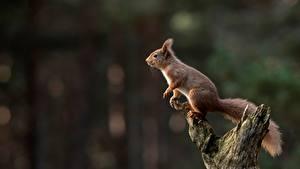 Bilder Hörnchen Unscharfer Hintergrund Tiere