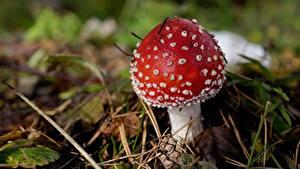 Hintergrundbilder Hautnah Pilze Natur Wulstlinge Rot