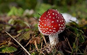 Hintergrundbilder Hautnah Pilze Natur Wulstlinge Rot Natur