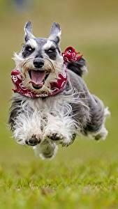 Hintergrundbilder Hunde Lauf Sprung Zunge Zwergschnauzer ein Tier