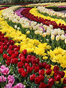 Bilder Niederlande Tulpen Viel Park Keukenhof Blumen