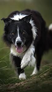 Hintergrundbilder Hunde Border Collie Zunge Tiere