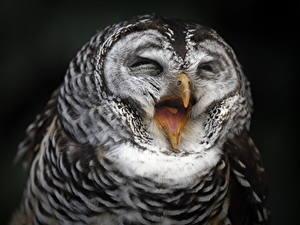 Bilder Eulen Vögel Lustige Schwarzer Hintergrund Tiere