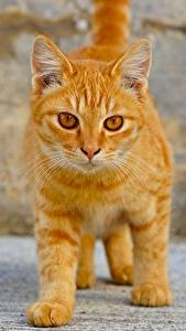 Wallpaper Cats Ginger color Glance Animals