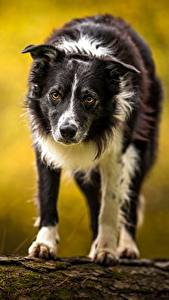 Fotos Hund Border Collie Starren ein Tier