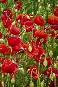 Bilder Mohnblumen Viel Hautnah Blütenknospe Blüte