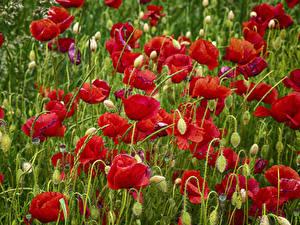 Bilder Mohn Viel Großansicht Blütenknospe Blüte