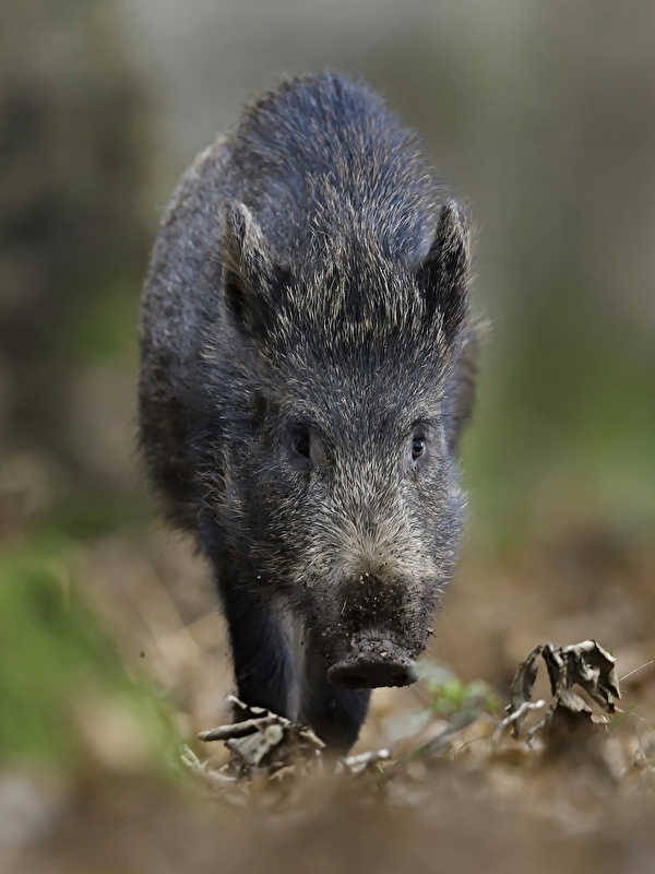 Pictures Wild boar blurred background animal 600x800 for Mobile phone wild pig wild swine Bokeh Animals