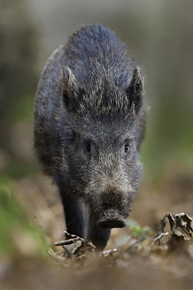 Pictures Wild boar blurred background animal 640x960 for Mobile phone wild pig wild swine Bokeh Animals