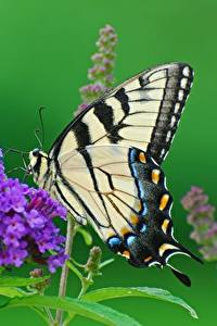Fotos Schmetterling Hautnah Papilio machaon Tiere