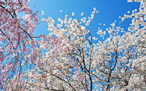 Wallpapers Spring Flowering trees Branches Nature