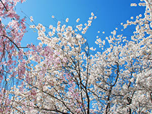 Wallpapers Spring Flowering trees Branches